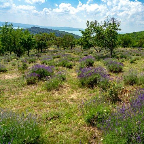 Levandulová pole na Tihany