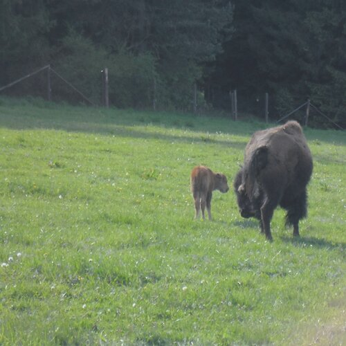 Bizoní obora u Veclova