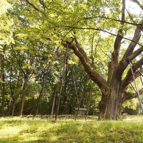 Nejstarší duby v Polsku