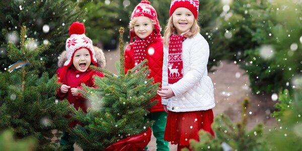 Vánoční stromky v květináči: smrk, borovice, jedle