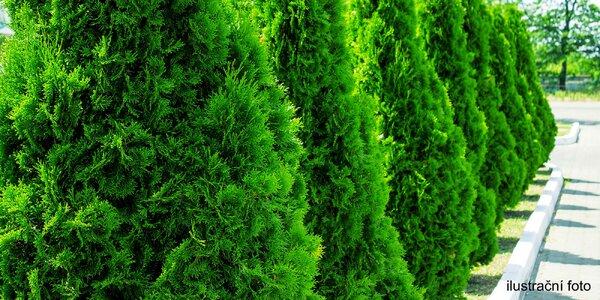 Vzrostlé sazenice thuje odrůdy Smaragd na živé ploty