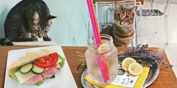 Panini nebo croissant s nápojem v kočičí kavárně