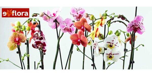 Nádherná živá orchidej včetně květináče