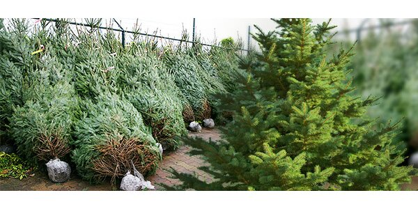 Vánoční stromečky u OD Kotva - borovice i jedle