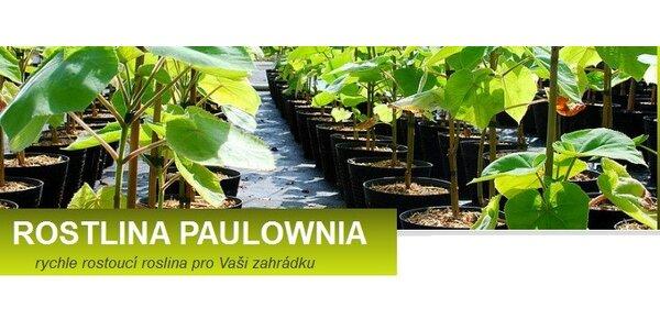 5 ks rychle rostoucí rostliny PAULOWNIA