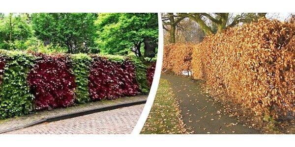 Živý plot z habrů nebo buků