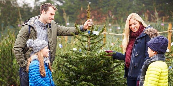 Vánoční stromeček - Jedle kavkazská