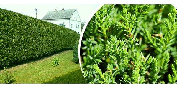 10 ks rychlerostoucí zahradní Thuje Smaragd