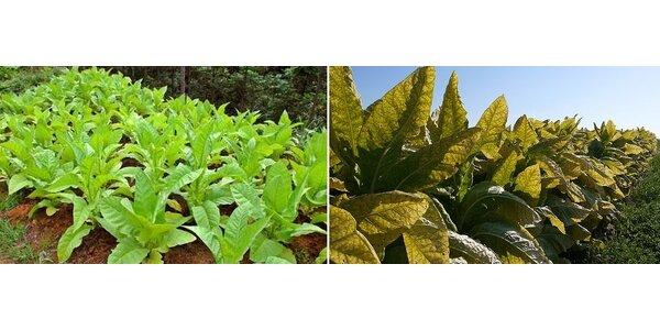 Semínka tabáku Burley (maxi balení) - domácí tabák
