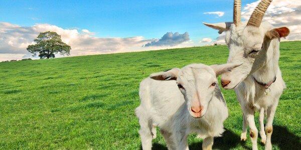 Pobyt na kozí farmě v Jeseníkách pro dva