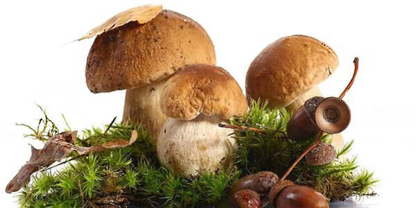 2 pěstební sadby šesti druhů lesních hub