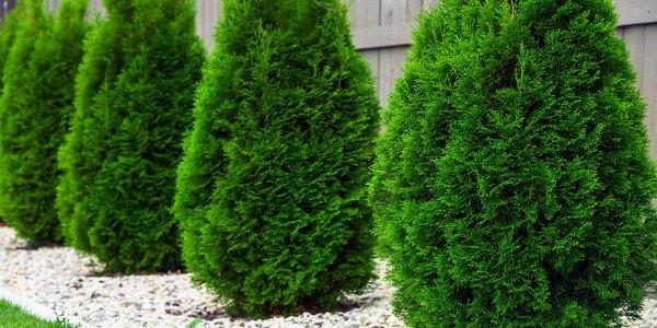 10 vzrostlých sazenic thuje západní odrůdy Smaragd