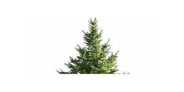 Vánoční stromek - smrk ztepilý 120cm - 150cm