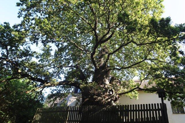 Žižkův dub Podhradí