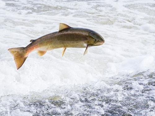 Když lososi táhli Vltavou