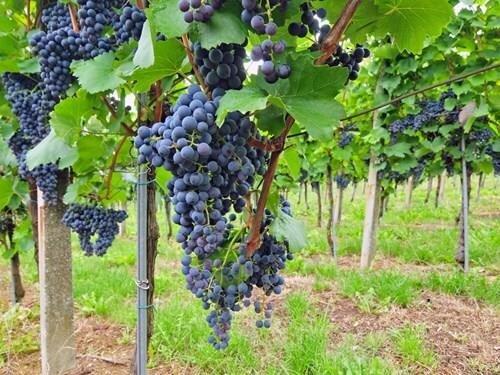 Krajem vína – letní putování okolím Modrých Hor