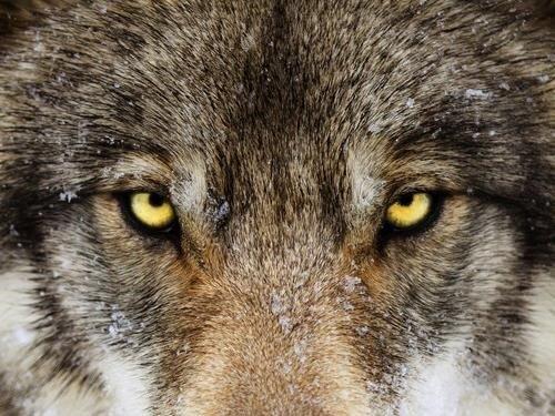 Vlk z Pavlova – výstava