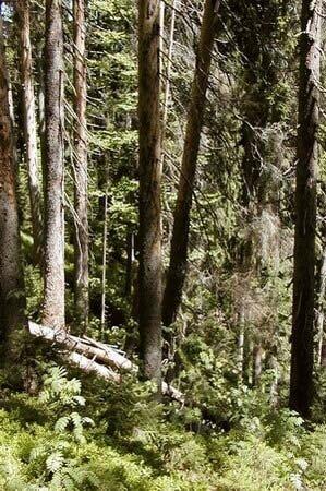 Milešický prales