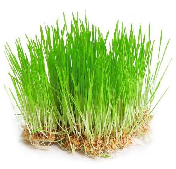 Mladý ječmen – semena na klíčky, 30 g
