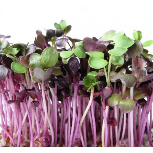 Ředkvička Red Purple – semena na klíčky, 10 g
