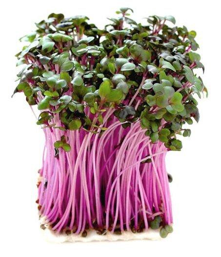 Červené zelí – semena na klíčky, 10 g