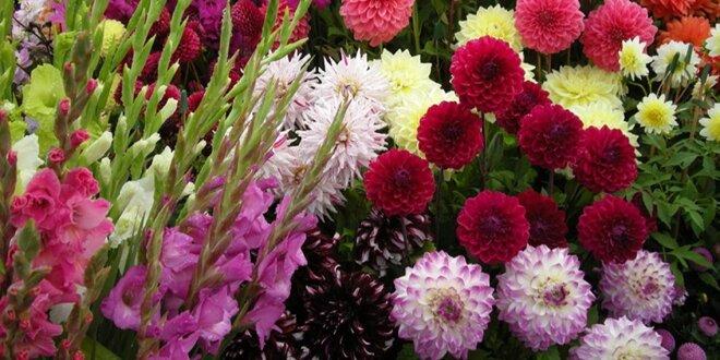 Zářivé mečíky a jiřiny: cibulky a hlízy rostlin