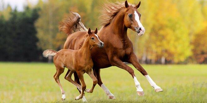 Osedlejte si koně či dítěti poníka