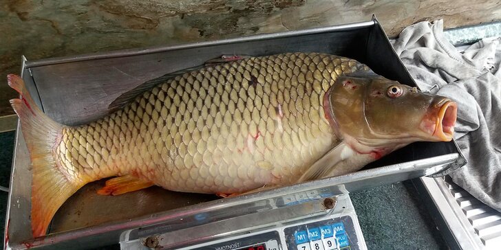 Prodej ryb čerstvě vylovených ze sádek: 1 kg pstruha či kapra