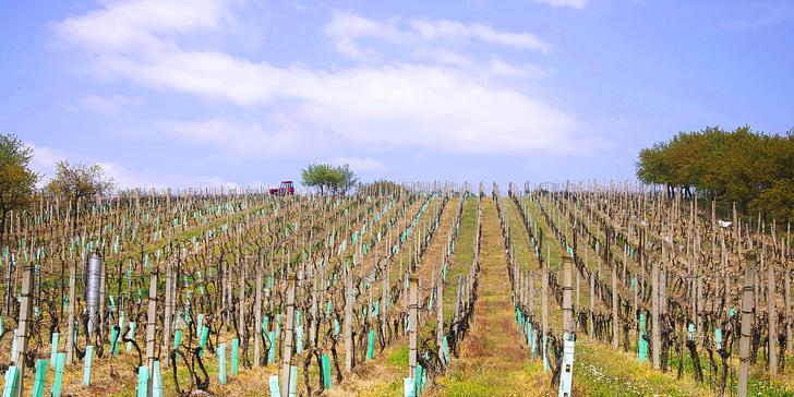 Pohoda na Kraví hoře: ochutnávka vín i prohlídka vinic a vinného sklepa