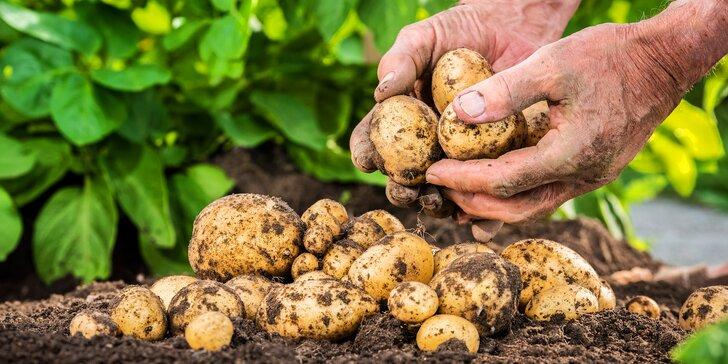 Samosběr brambor z celého nebo polovičního řádku či připravený 25kg pytel