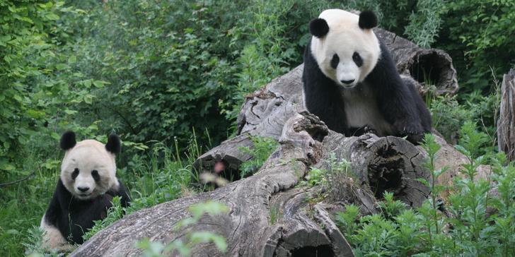 Výlet do vídeňské ZOO: pandy, koaly, sloni, sibiřští tygři a další druhy zvířat
