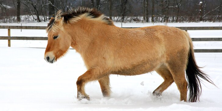Venčení hříbat přírodou nebo projížďka na koních, kteří to neměli lehké