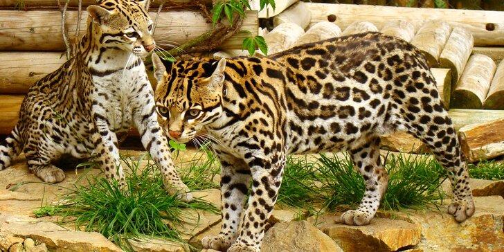 Poznejte rysy, oceloty a geparda zblízka: seznámení se šelmami nebo krmení