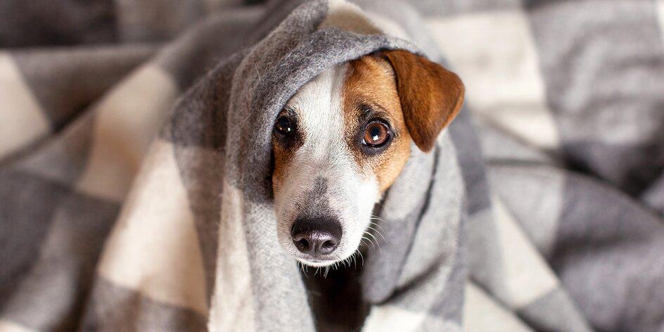 Rady veterináře: jak zvládnout silvestra bez sedativ a jak psa správně venčit