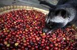 Speciální cibetková káva: zrnková i mletá