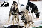 Jízda po Jizerkách na káře tažené psím spřežením
