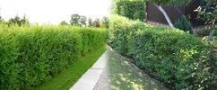 Jilm sibiřský na živý plot