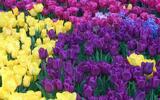 Nádherný pugét z holandských růží či tulipánů